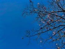 Rama de árbol y flor rosada con el cielo azul fotos de archivo
