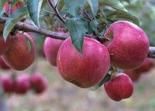 Rama de Apple con las manzanas rojas Fotos de archivo libres de regalías