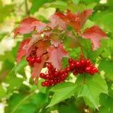 Rama de bayas rojas de una guelder-rosa Fotografía de archivo