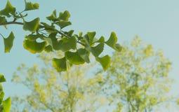 Rama de Biloba del Ginkgo en otoño Imagen de archivo