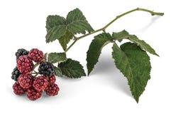 Rama de Blackberry Imagenes de archivo