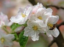 Rama de Bloming del manzano Imagen de archivo libre de regalías