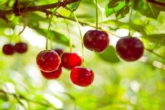 Rama de cerezas maduras rojas Fotografía de archivo