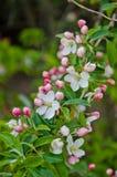 Rama de Cherry Blossom Fotografía de archivo