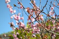 Rama de Cherry Blossom Imagenes de archivo