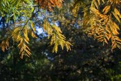Rama de Cypress en otoño Fotos de archivo libres de regalías