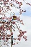 Rama de flores de cerezo florecientes con una linterna y un cielo azul como fondo imágenes de archivo libres de regalías