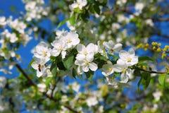 Rama de flores de la manzana y de una abeja Foto de archivo libre de regalías