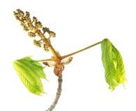 Rama de la castaña de caballo con los brotes de flor y las hojas del verde aislados en el fondo blanco Imágenes de archivo libres de regalías