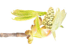 Rama de la castaña de caballo con los brotes de flor y las hojas jovenes del verde aislados en el fondo blanco Foto de archivo
