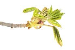 Rama de la castaña de caballo con los brotes de flor y las hojas jovenes del verde aislados en el fondo blanco Fotos de archivo libres de regalías