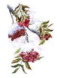Rama de la ceniza salvaje con nieve en bayas Ashberry rojo del invierno Ilustración de la acuarela stock de ilustración