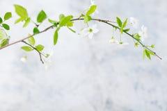 Rama de la cereza con las hojas y las flores frescas de los jóvenes Fondo de piedra gris Copie el espacio Fotografía de archivo