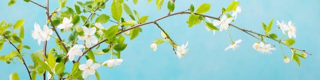 Rama de la cereza con las hojas y las flores frescas de los jóvenes Fondo de piedra gris Copie el espacio Fotografía de archivo libre de regalías