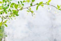 Rama de la cereza con las hojas y las flores frescas de los jóvenes Fondo de piedra gris Copie el espacio Foto de archivo
