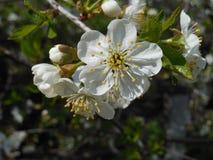 Rama de la cereza floreciente Fotografía de archivo