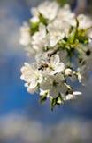 Rama de la cereza floreciente Imágenes de archivo libres de regalías