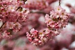 Rama de la cereza japonesa imagen de archivo