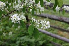 Rama de la cereza de pájaro con las flores cerca del seto en primavera imagen de archivo