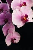 Rama de la ejecución de una orquídea Imagenes de archivo