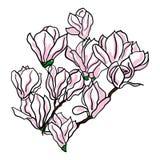 Rama de la flor de la magnolia en el fondo blanco Fotografía de archivo libre de regalías