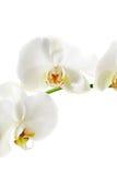 Rama de la flor de la orquídea Foto de archivo libre de regalías