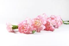 Rama de la flor del clavel Fotografía de archivo libre de regalías