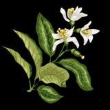 Rama de la flor de la fruta cítrica de la naranja, limón, árbol frutal de la cal hecho en v libre illustration