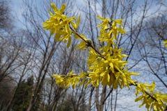 Rama de la forsythia floreciente contra el cielo Imágenes de archivo libres de regalías