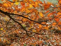 Rama de la haya con las hojas de otoño de oro 2 fotografía de archivo