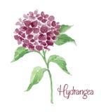 Rama de la hortensia de Borgoña Fotografía de archivo