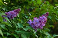 Rama de la lila Imagen de archivo libre de regalías