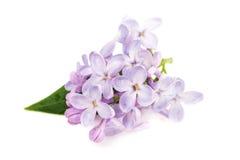 Rama de la lila aislada en el fondo blanco Foto de archivo libre de regalías