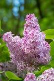 Rama de la lila con las hojas verdes Imagenes de archivo