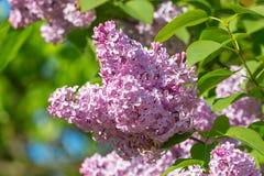 Rama de la lila con las hojas verdes Imagen de archivo libre de regalías