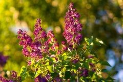 Rama de la lila en la luz de la puesta del sol Fotos de archivo libres de regalías