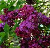 Rama de la lila en primavera imagenes de archivo
