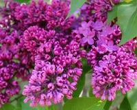 Rama de la lila en primavera fotografía de archivo