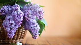 Rama de la lila floreciente de la primavera