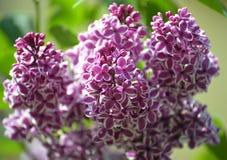 Rama de la lila floreciente (Syringa L ), sensación del grado (SE imagen de archivo libre de regalías