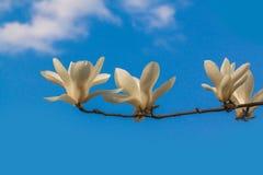 Rama de la magnolia con las flores dobles blancas fotos de archivo libres de regalías