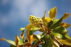 Rama de la magnolia contra el cielo azul Fotografía de archivo libre de regalías