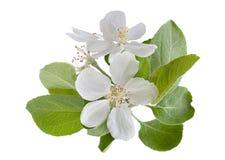 Rama de la manzana del flor Foto de archivo