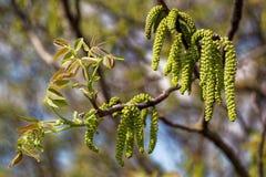 Rama de la nuez con las hojas y los brotes de los jóvenes Imagen de archivo libre de regalías