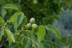Rama de la nuez con tres frutas maduras y muchas hojas Fotografía de archivo libre de regalías