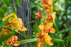 Rama de la orquídea amarilla Fotos de archivo
