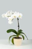 Rama de la orquídea blanca en fondo gris Fotos de archivo libres de regalías