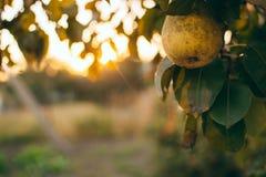 Rama de la pera por completo de la fruta, en la puesta del sol, con el espacio de la copia fotos de archivo libres de regalías