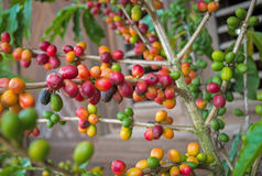 Rama de la planta del café con diverso color de la baya Imagenes de archivo