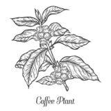Rama de la planta del café con la hoja, baya, grano de café, fruta, semilla Cafeína orgánico natural imagen de archivo